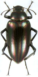 Callismilax mirabilis