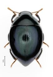 Isopus virdipennis