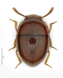 Menimus hydrovatinus
